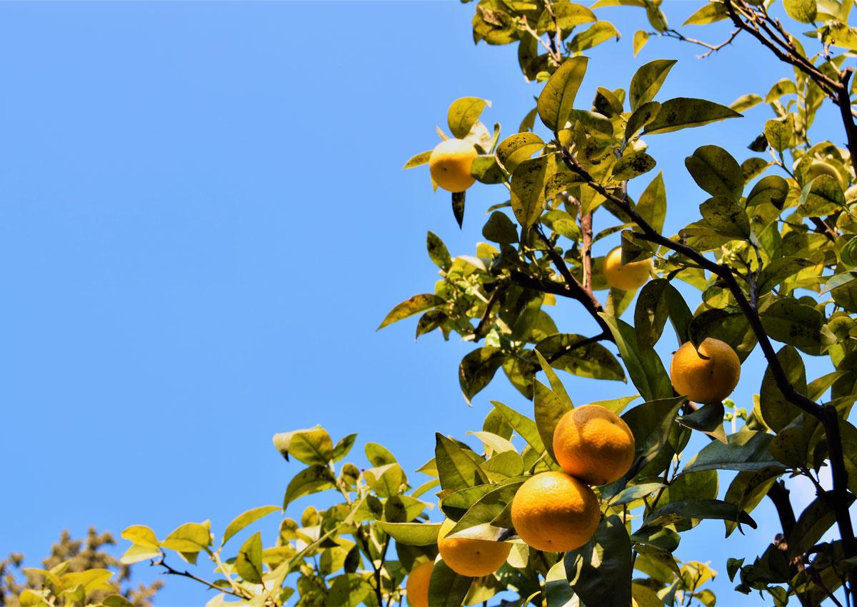 Cedral Tassoni lancia Tonica Superfine con Limoni del Garda
